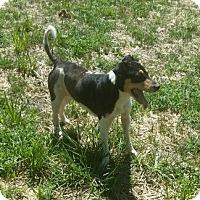 Adopt A Pet :: 1-2 Harley - Triadelphia, WV