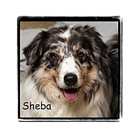 Adopt A Pet :: Sheba - Warren, PA