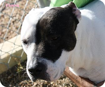 Pit Bull Terrier Mix Dog for adoption in San Antonio, Texas - Pippa