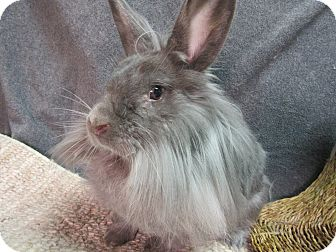 Lionhead Mix for adoption in Newport, Delaware - Malia