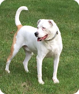 American Bulldog/American Pit Bull Terrier Mix Dog for adoption in House Springs, Missouri - Murphy