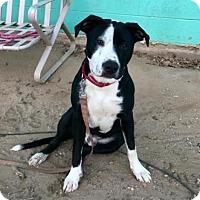 Adopt A Pet :: Presley - Austin, TX
