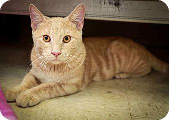 Domestic Shorthair Kitten for adoption in Trevose, Pennsylvania - Calvin