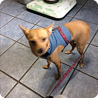Chihuahua/Terrier (Unknown Type, Small) Mix Dog for adoption in S. Pasedena, Florida - Snooky