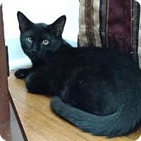 Domestic Shorthair Kitten for adoption in Colorado Springs, Colorado - Thrace