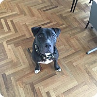 Cane Corso/American Staffordshire Terrier Mix Dog for adoption in Whitestone, New York - Bentley (Acc)
