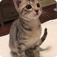 Adopt A Pet :: Jinx - McKinney, TX