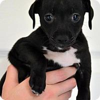 Dachshund Mix Puppy for adoption in Arlington, Washington - Dexter, a 2 month old puppy