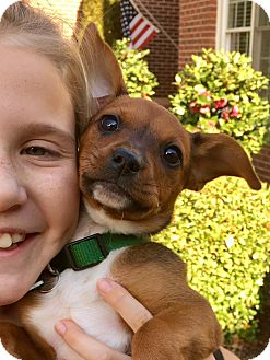 Boxer/Hound (Unknown Type) Mix Puppy for adoption in Alpharetta, Georgia - Rae
