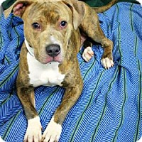 Adopt A Pet :: Capone - Melbourne, KY