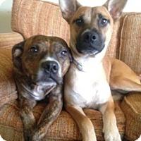 Cattle Dog/Corgi Mix Dog for adoption in Moosup, Connecticut - BUDHA
