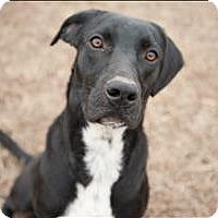 Adopt A Pet :: Bongo - Huntsville, AL