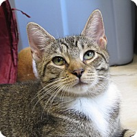 Domestic Shorthair Cat for adoption in Lafayette, New Jersey - Joni