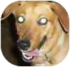 Beagle/Collie Mix Dog for adoption in Mesa, Arizona - C.C.