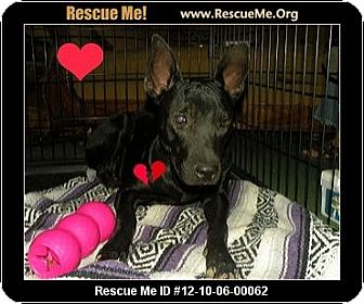 Jindo/Labrador Retriever Mix Dog for adoption in Scottsdale, Arizona - Lemony