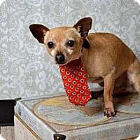 Chihuahua Dog for adoption in McKinney, Texas - Spud *Diamond Dog adoption fee $75*