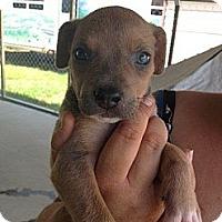 Adopt A Pet :: Baby Arthur - Marlton, NJ