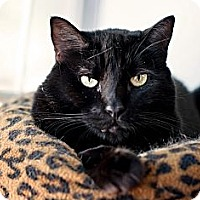 Domestic Shorthair Cat for adoption in Carencro, Louisiana - Winkin