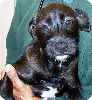 Scottie, Scottish Terrier Mix Puppy for adoption in McDonough, Georgia - Jett