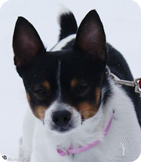Rat Terrier Mix Dog for adoption in Monroe, Michigan - Boo