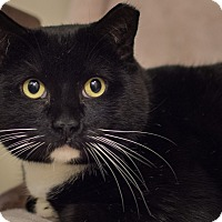 Domestic Shorthair Cat for adoption in Staten Island, New York - Duke
