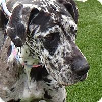 Adopt A Pet :: Daytona - Inglewood, CA