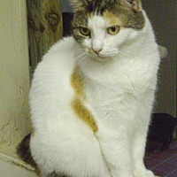 Domestic Shorthair Cat for adoption in Montreal, Quebec - Lilly