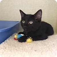 Adopt A Pet :: Mousse - Fort Collins, CO