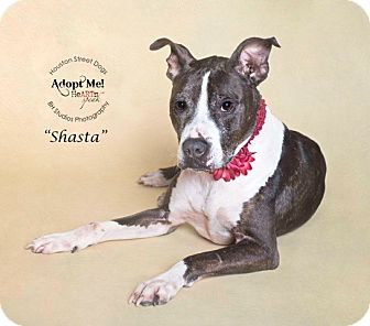 Pointer/Pit Bull Terrier Mix Dog for adoption in Houston, Texas - Shasta