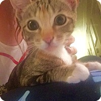 Domestic Shorthair Kitten for adoption in Woodland Hills, California - Rea