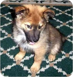 DALLAS | Adopted Puppy | Muskegon, MI | Belgian Tervuren ...