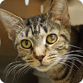 Domestic Shorthair Cat for adoption in Sprakers, New York - Blanche