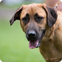 German Shepherd Dog/Mastiff Mix Dog for adoption in Daleville, Alabama - Bandit