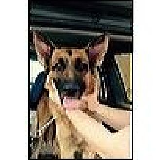 German Shepherd Dog Dog for adoption in Cardwell, Montana - Axel