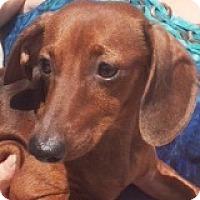 Adopt A Pet :: Hendrix Heisman - Houston, TX