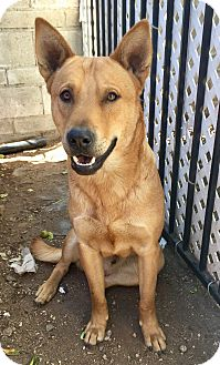 German Shepherd Dog/Labrador Retriever Mix Dog for adoption in Santa Ana, California - Cash