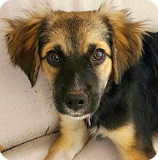 Spaniel (Unknown Type)/Shepherd (Unknown Type) Mix Puppy for adoption in Thousand Oaks, California - Cadbury