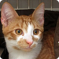 Domestic Shorthair Kitten for adoption in Durham, North Carolina - Pooka