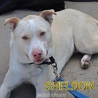 Adopt A Pet :: Sheldon - North Richland Hills, TX