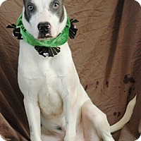 Husky/Labrador Retriever Mix Dog for adoption in West Springfield, Massachusetts - Merlin