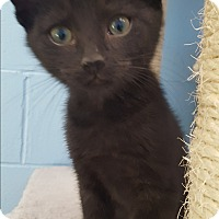 Adopt A Pet :: Batman - Circleville, OH