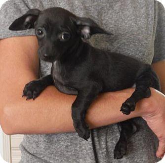 Chihuahua/Dachshund Mix Puppy for adoption in Alpharetta, Georgia - Mojo