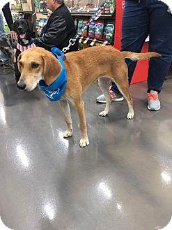 Hound (Unknown Type)/Labrador Retriever Mix Dog for adoption in joliet, Illinois - River