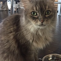 Maine Coon Cat for adoption in Sherman Oaks, California - Poofy