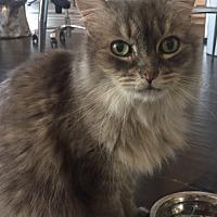 Adopt A Pet :: Poofy - Sherman Oaks, CA