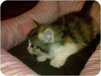 Calico Kitten for adoption in Centerburg, Ohio - Button
