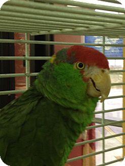 Amazon for adoption in Punta Gorda, Florida - Michael