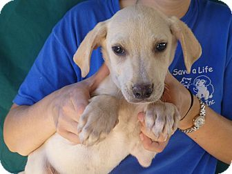 Golden Retriever/Labrador Retriever Mix Puppy for adoption in Oviedo, Florida - Tuck