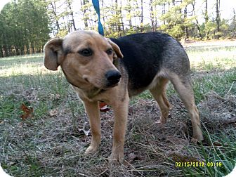 Beagle/Feist Mix Dog for adoption in Dundas, Virginia - Mahogany