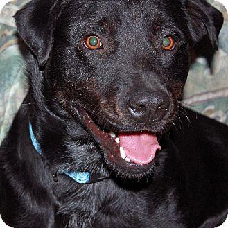 Labrador Retriever Mix Dog for adoption in Scottsdale, Arizona - Brody (courtesy)
